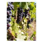 País vinícola de California Tarjetas Postales