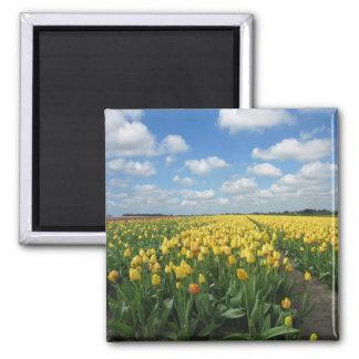 Paisaje amarillo de los tulipanes imán cuadrado