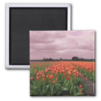 Paisaje rojo de los tulipanes imán cuadrado