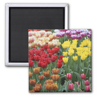 Países Bajos, jardines de Keukenhoff, tulipanes Imán Cuadrado