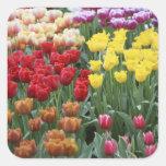 Países Bajos, jardines de Keukenhoff, tulipanes Calcomanías Cuadradass Personalizadas