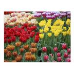 Países Bajos, jardines de Keukenhoff, tulipanes Postal