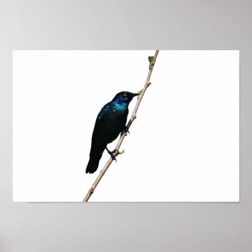 Pájaro azul brillante de Starling de la felicidad Póster