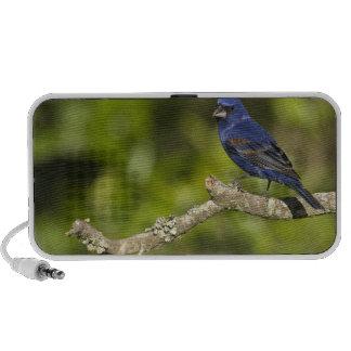 Pájaro azul, caeulea del Passerina, curva costera, iPhone Altavoces