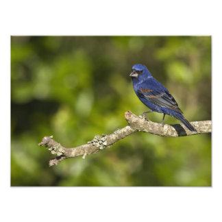 Pájaro azul, caeulea del Passerina, curva costera, Fotografía
