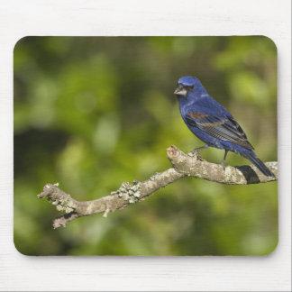 Pájaro azul, caeulea del Passerina, curva costera, Tapete De Raton