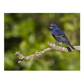 Pájaro azul, caeulea del Passerina, curva costera, Tarjetas Postales