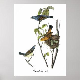 Pájaro azul John James Audubon Poster