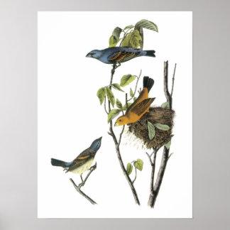 Pájaro azul por Audubon Póster
