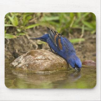 Pájaro azul que bebe en la charca del patio traser tapete de ratón