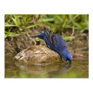 Pájaro azul que bebe en la charca del patio traser postales