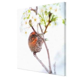 Pájaro bonito del pinzón de casa en las flores de  lona envuelta para galerias