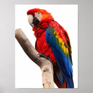 Pájaro colorido hermoso del loro del Macaw del esc Poster