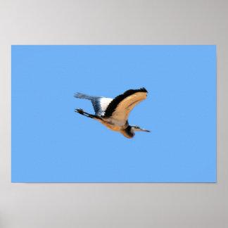 Pájaro con alas de la garza de gran azul en vuelo posters