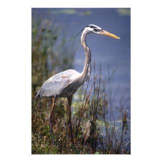 Pájaro de agua de la garza de gran azul encontrado arte con fotos