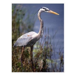 Pájaro de agua de la garza de gran azul encontrado postales