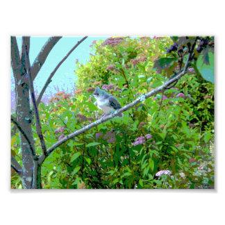 Pájaro de bebé del novato del Titmouse copetudo Fotografías