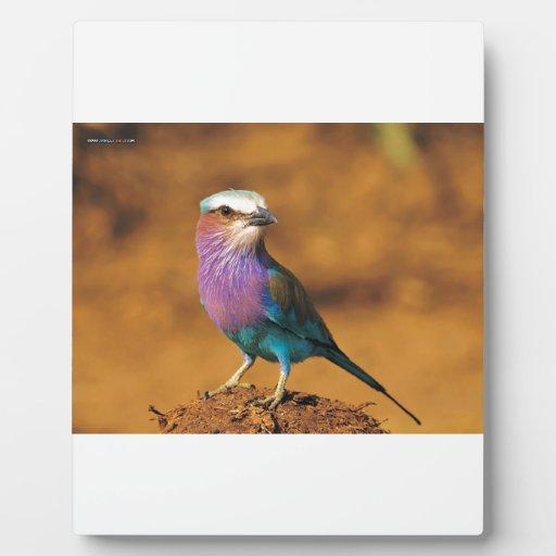 Pájaro de Breasted de la lila Placas Con Foto