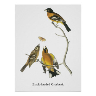 Pájaro de cabeza negra de Audubon Poster