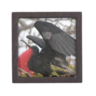 Pájaro de fragata magnífico caja de recuerdo de calidad