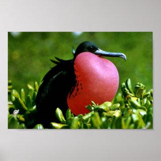 Pájaro de fragata magnífico póster