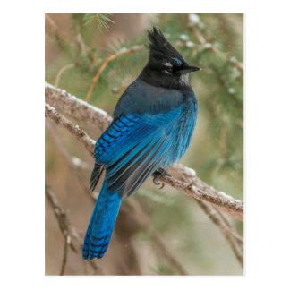 Pájaro de jay de Steller en árbol Postales