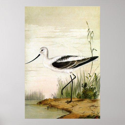 Pájaro de la vida marina del vintage, Avocet, aves Póster