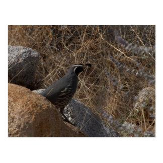 Pájaro de las codornices en el desierto postal