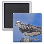 Pájaro de Osprey Imán Para Frigorífico