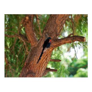 Pájaro de Redbilled Woodhoopoe Postales