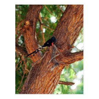 Pájaro de Redbilled Woodhoopoe Tarjetas Postales