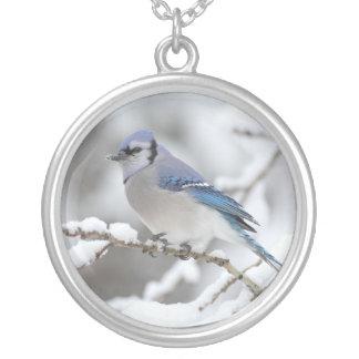 Pájaro del arrendajo azul collar plateado