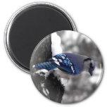 Pájaro del arrendajo azul imán redondo 5 cm