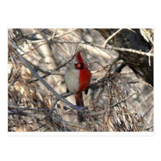 Pájaro del cardenal de Hermaphadite Tarjetas Postales