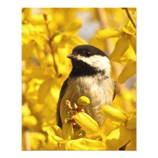 Pájaro del Chickadee en la impresión de la foto de