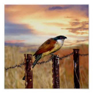 Pájaro del cuco de Coucal de Burchell Póster