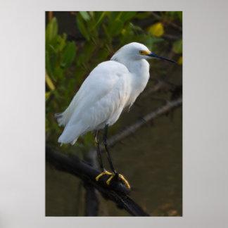 Pájaro del Egret nevado Poster