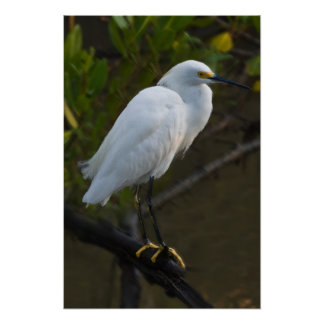 Pájaro del Egret nevado Póster