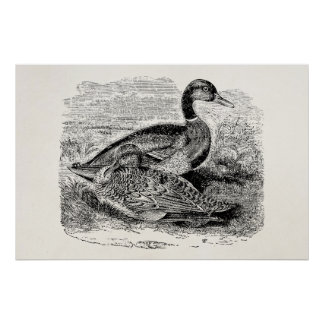 Pájaro del pato del pato silvestre del vintage - póster
