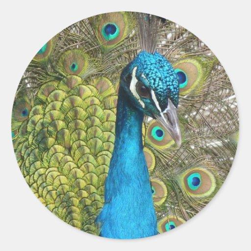 Pájaro del pavo real con las plumas hermosas etiqueta redonda