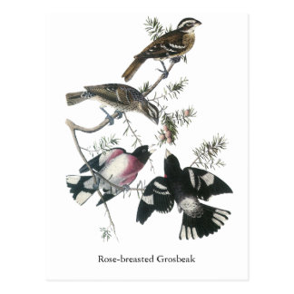 Pájaro del Rosa-breasted de James Aubudon Postal