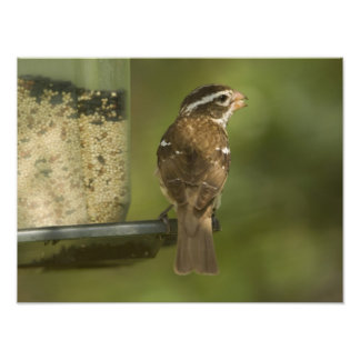 Pájaro del Rosa-breasted de la hembra) en el alime Cojinete