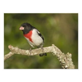 Pájaro del Rosa-breasted, Pheucticus 2 Fotografías