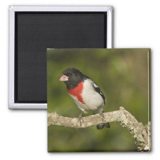 Pájaro del Rosa-breasted, Pheucticus 2 Imán