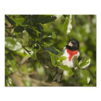 Pájaro del Rosa-breasted, Pheucticus Cojinete