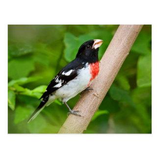 Pájaro del Rosa-Breasted (Pheucticus Ludovicianus) Postal
