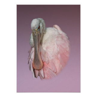 Pájaro del Spoonbill rosado Póster