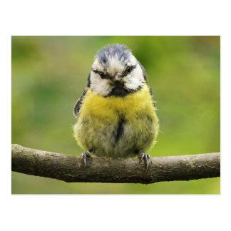 Pájaro del Tit azul Postal