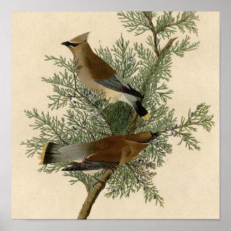 Pájaro del Waxwing de cedro de Audubon Impresiones