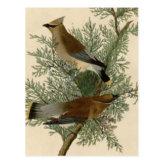 Pájaro del Waxwing de cedro de Audubon Postal